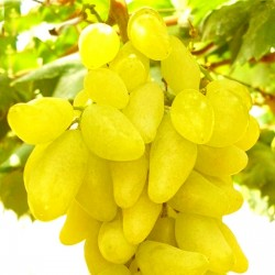 Finger Grape Seeds 2.25 - 4
