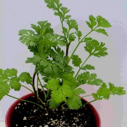 Coriander Seeds (Coriandrum Sativum) 1.949999 - 2