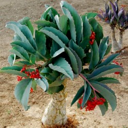 Виноградное дерево семена (Cyphostemma juttae) 7.5 - 1