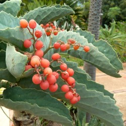Semi di Uva Selvatica (Cyphostemma juttae) 7.5 - 2
