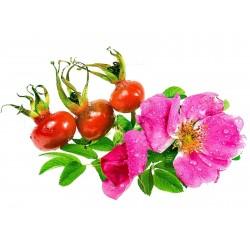 Graines de Rosier rugueux ou Rosier du Japon (Rosa rugosa) 1.65 - 1