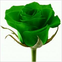 Semi di Rosa Raro - Verde Rosa Romantico Fiori