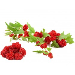 Echter Erdbeerspinat Samen 1.55 - 1