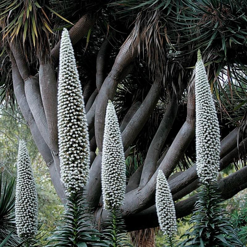 Echium - Snow Tower Seeds 2.5 - 1