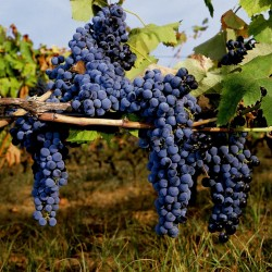 Black Grape Seeds (vitis vinifera) 1.55 - 2