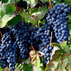 Black Grape Seeds (vitis vinifera) 1.55 - 3