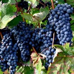 Svart Druva Frön (vitis vinifera) 1.55 - 3