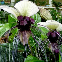White Bat Flower Seeds (Tacca chantrieri) 2.85 - 1