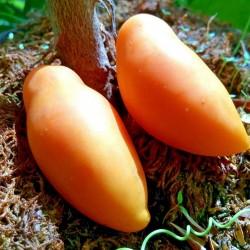 Semillas de tomate Tschuchloma 1.85 - 1