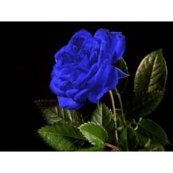 Σπόροι Blue Rose