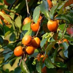 Graines Plaqueminier de Virginie (Diospyros virginiana) L'arbre est rustique à -29 C. 3.5 - 3