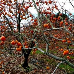 Graines Plaqueminier de Virginie (Diospyros virginiana) L'arbre est rustique à -29 C. 3.5 - 2