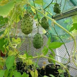 Sementes de Kiwano melão (Cucumis metuliferus) 2.15 - 2