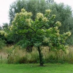 Sweet chestnut - Marron Seeds 2.5 - 5