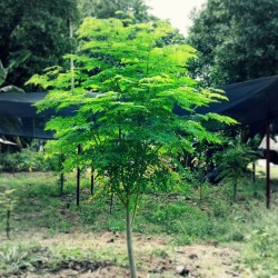 Moringa the Miracle Tree Seeds (Moringa oleifera PKM 1)  - 5