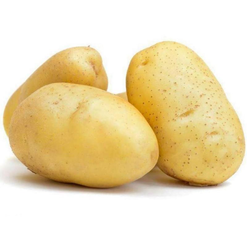 Weisse kartoffeln samen KENNEBEC  - 4