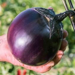 Aubergine Samen Ronde de Valence - Eierfrucht klein rund schwarz  - 4