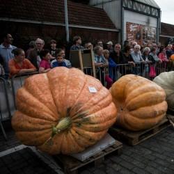 BIG MAX Pumpkin Heirloom Seeds  - 3