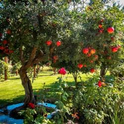 Granatapfel - Pomegranate Samen (Punica granatum)  - 1
