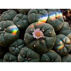 graines 15 x Lophophora williamsii Peyote Cactus