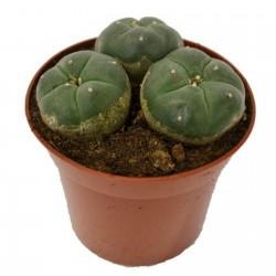Пейо́тль, Пейо́т, Лофофора Уильямса (Lophophora williamsii)  - 5