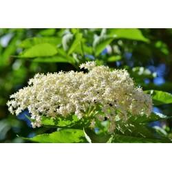 Bazga ili Zova Seme (Sambucus nigra)  - 3