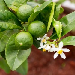 Semi di limetta di Tahiti (Citrus × latifolia)  - 1