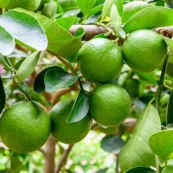 Gewöhnliche Limette Samen - Persische Limette  - 2