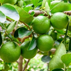 Tahitilime Frön (Citrus ×latifolia)  - 2