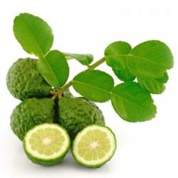 Kaffernlimette Samen (Citrus hystrix)  - 2