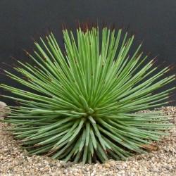Egzoticna agava - Agave striata Seme  - 3