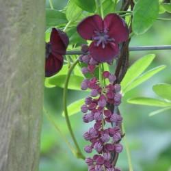 Σπόροι Akebi - Mu Tong (Akebia trifoliata)  - 5