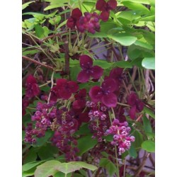 Sementes de Akebia Trifoliata Resistentes geada  - 6