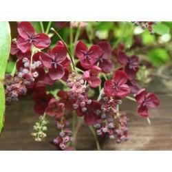 Sementes de Akebia Trifoliata Resistentes geada  - 7