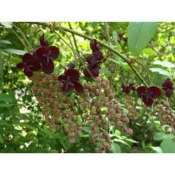 Graines de Vigne Chocolat (Akebia trifoliata)  - 8