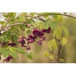 Graines de Vigne Chocolat (Akebia trifoliata)  - 9