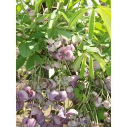 Akebie Seme (Akebia trifoliata)  - 10