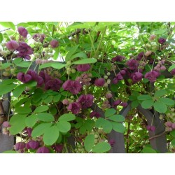 Akebie Seme (Akebia trifoliata)  - 11