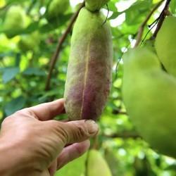 Dreiblättrige Akebia Samen (Akebia trifoliata)  - 13