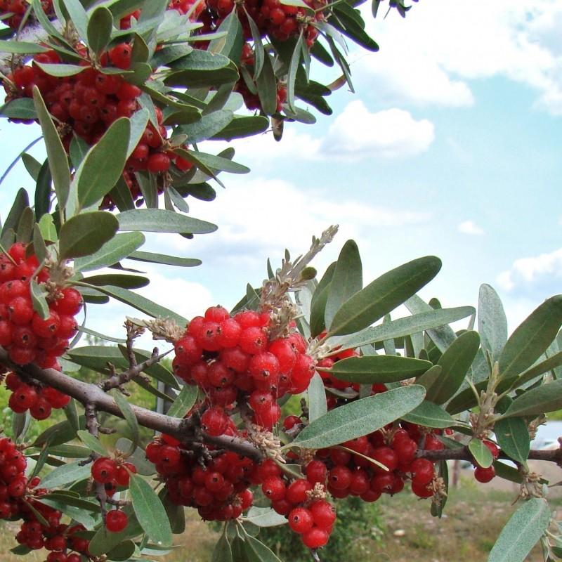 Bisonbusksläktet Frön