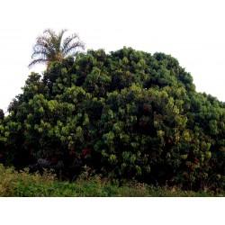 Litschi Litchi Seme - Azijska Tresnja (Litchi chinensis)  - 1