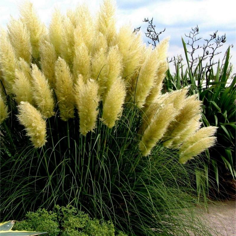 Graines Herbe De La Pampa Blanc (Cortaderia Selloana)  - 4
