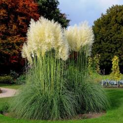 Grass Pampas White Samen (Cortaderia Selloana)  - 3