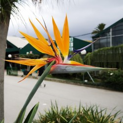 Graines Oiseau de Paradis (Strelitzia reginae)  - 6
