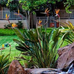 Graines Oiseau de Paradis (Strelitzia reginae)  - 4