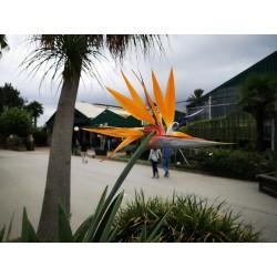 Paradiesvogelblume Samen (Strelitzia reginae)  - 5
