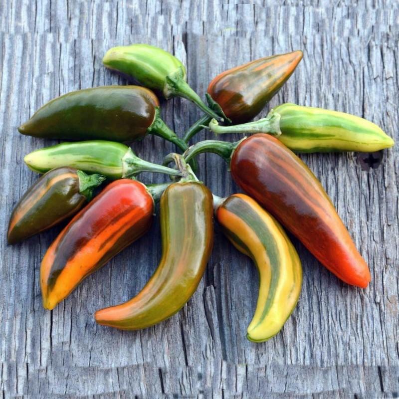 FISH Chili – Cili Seme – Ljut i Predivan Seeds Gallery - 6