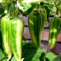 FISH Hot Chilli Pepper Seeds Seeds Gallery - 1