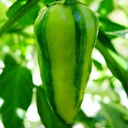FISH Hot Chilli Pepper Seeds Seeds Gallery - 2