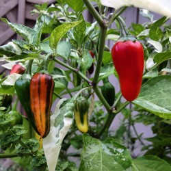FISH Hot Chilli Pepper Seeds Seeds Gallery - 3